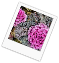 Best Dirt Ornamental Cabbage