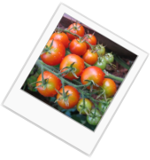 For Tomato Plants