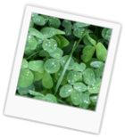 Get Rid of Lawn Clovers