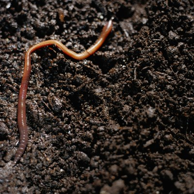 Organic vermicompost uses worm castings for gardens for Uses for dirt