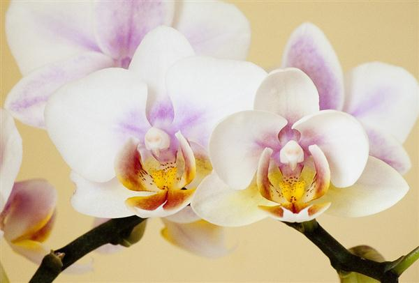 Phaeleonopsis orchids thrive indoors